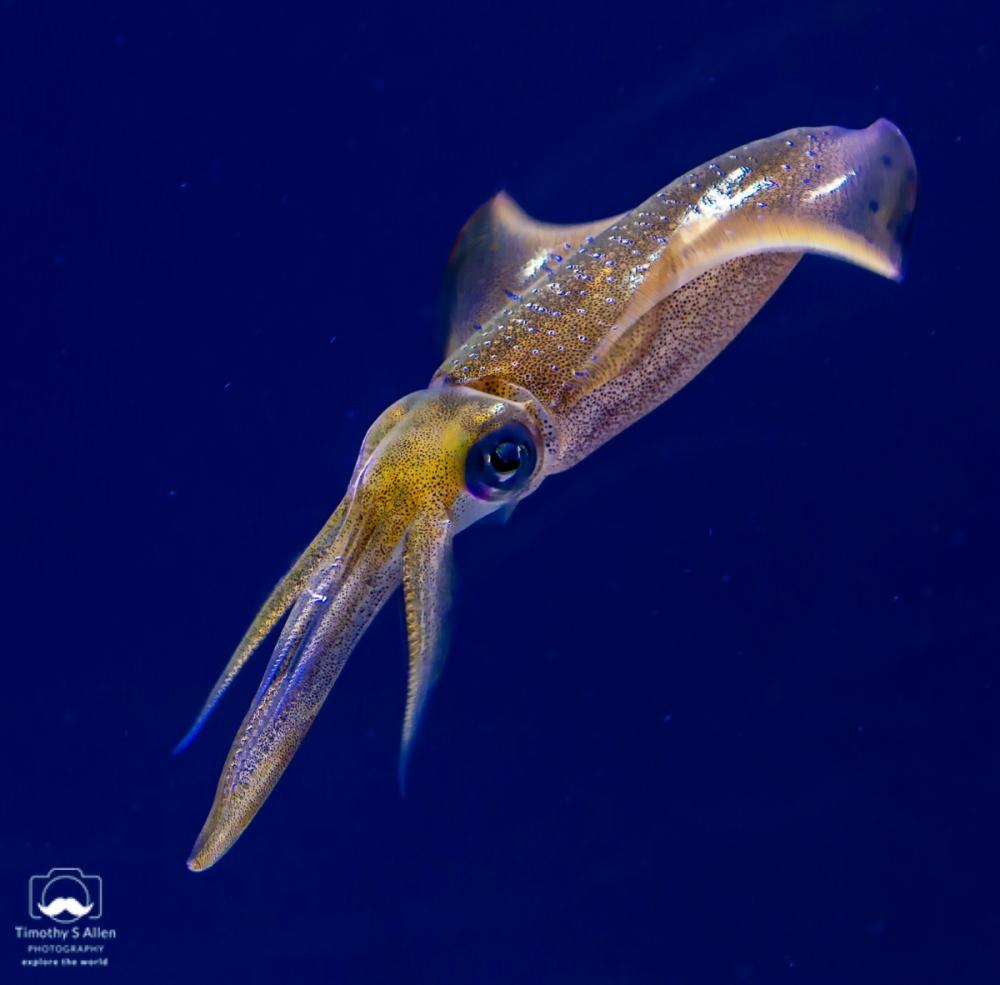 These large squid seem to dance across the surface of reefs and sand bottom. They use jets of water to propel themselves. Monterey, CA June 19, 2018