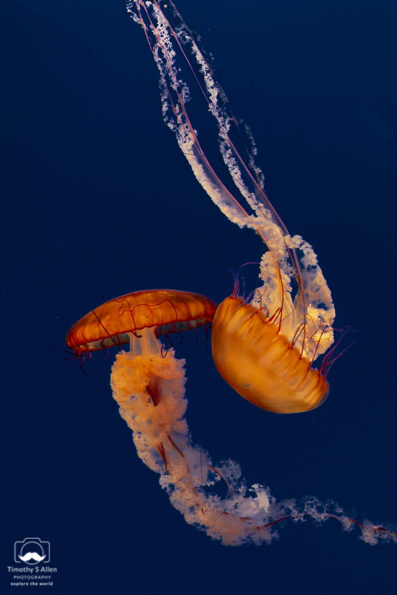 These large jellyfish (Chrysaora fuscescens) commonly live for only 6 months in the wild. Monterey, CA, U.S.A. June 19, 2018