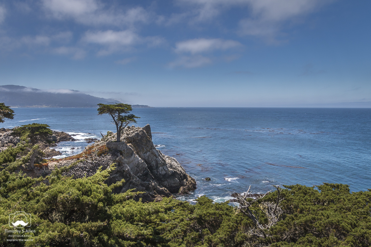 The Famous Monterey Pine. 17 Mile Drive, Pebble Beach, CA, U.S.A. June 20, 2018