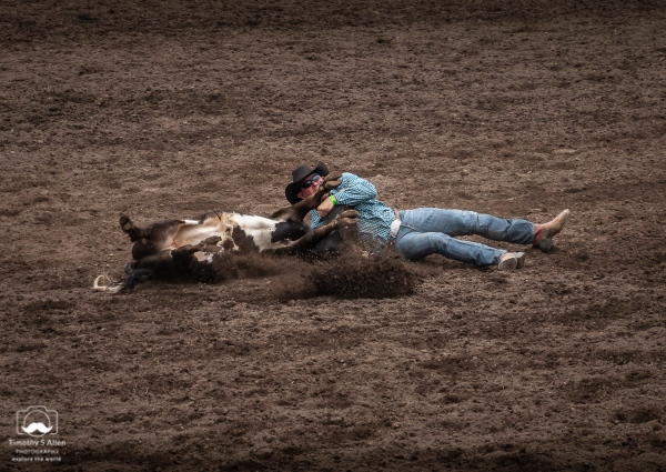 The cowboy in the blue shirt has slid off his horse and grabbed the black steer by its horns. He's succeeded in rolling it on its back. All of this in the shortest time possible. Russian River Rodeo, Duncans Mills, CA, U.S.A. June 24, 2018