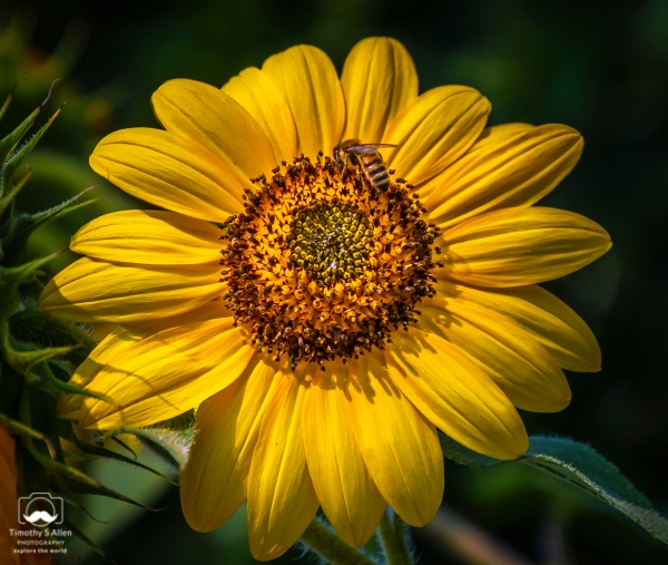 Sun Flower, Santa Rosa, CA. August 24, 2018
