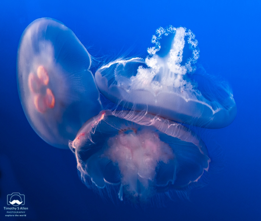 These large jellyfish (Chrysaora fuscescens) are most commonly found along the coasts of California and Oregon. Monterey, CA, U.S.A. June 19, 2018