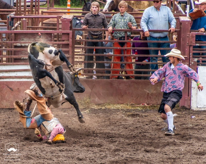 A cowboy falls off a bucking bull as a cowboy clown moves in to distract the bull. Duncans Mills, CA June 28, 2018