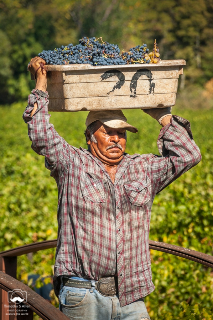 Carrying a crate of red grapes to be dumped into a large container. Dry Creek, Sonoma County, CA, U.S.A., Sept 30, 2012