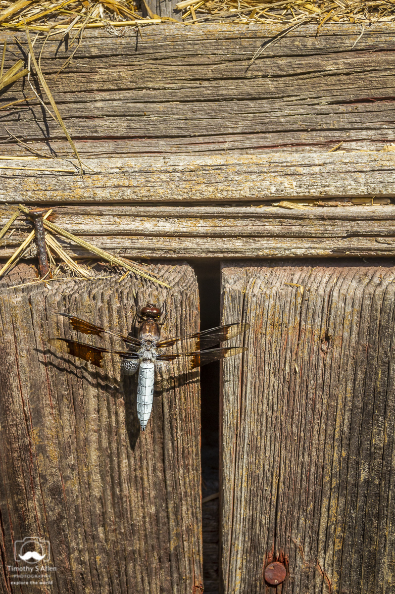 Dragon Fly landed on a textured barn siding. Peters Valley School of Crafts, Layton, NJ. July 29, 2013