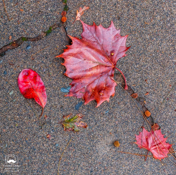 Autumn leaves fallen on an asphalt street after a rain storm. Sacramento, California. November 23, 2018