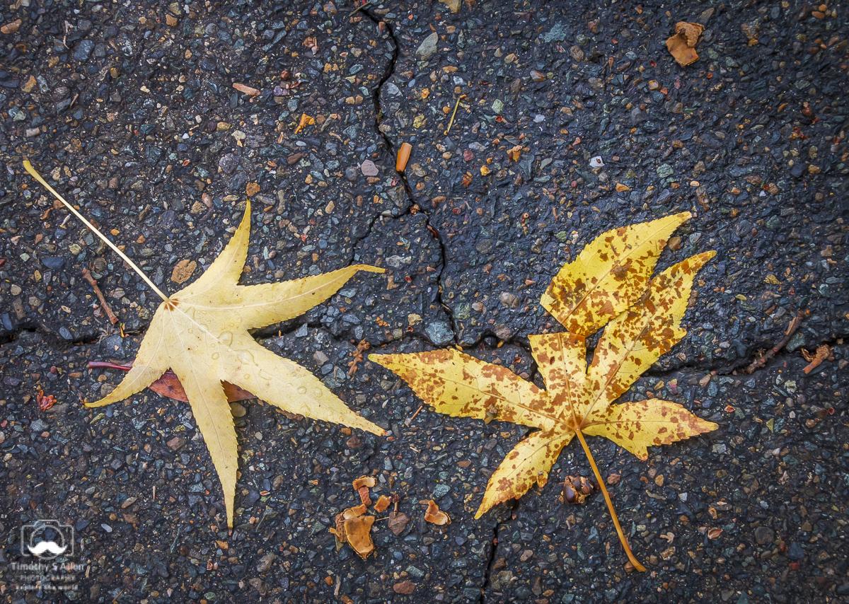 Autumn leaves fallen on an asphalt street after a rain storm. Sacramento, California. November 23, 2018
