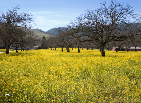 - Mustard in an orchard off of Hwy 12, Sonoma County, California. June 27, 2019.