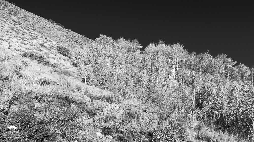 - Infrared of a grove of Aspen in the fall. Eastern Sierra Nevada Mountains, June Lake, CA, October 13, 2017.