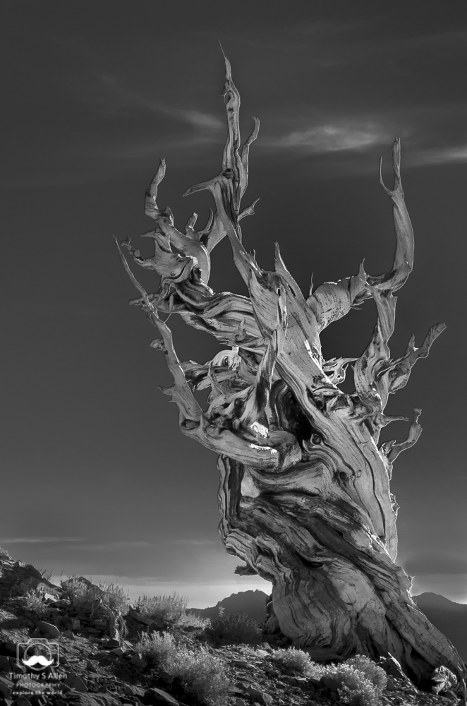 Bristlecone Pine, Bristlecone Pine Forest, White Mountain, Eastern California, U.S.A. October 15, 2017