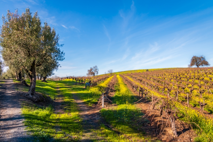 – A view from B.R. Cohn Winery @BRCohn. Hwy 12, Valley of the Moon, Sonoma County, CA. Panoramic of 5 images and HDR of 3 bracketed images. January 27, 2019.