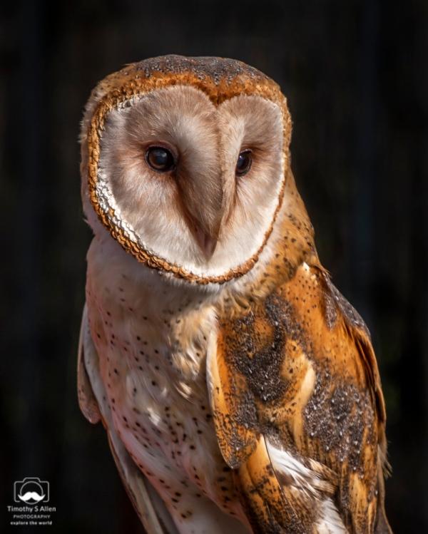 """""""Garbo"""" the Barn Owl Bird Rescue Center of Sonoma County birdrescuecenter.org Santa Rosa, CA February 2, 2019"""