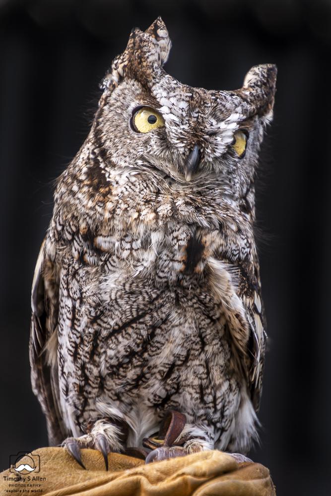 Pippin the Western Screech Owl, Bird Rescue Center of Sonoma County, birdrescuecenter.org Santa Rosa, CA, February 2, 2019