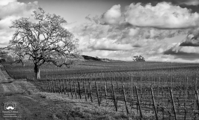 - Sonoma County Vineyard, Blank Road, Sebastopol, CA, U.S.A. February 10, 2019.