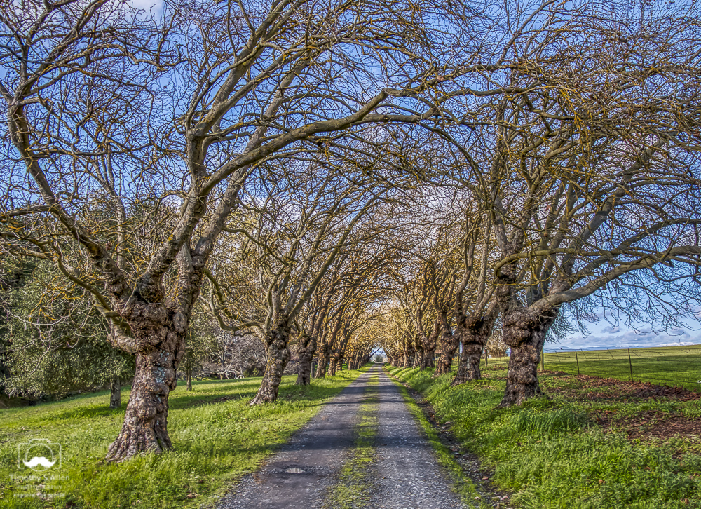 Bare Trees Arch Over a Driveway Blank Road, Sebastopol, Sonoma County, CA February 11, 2019