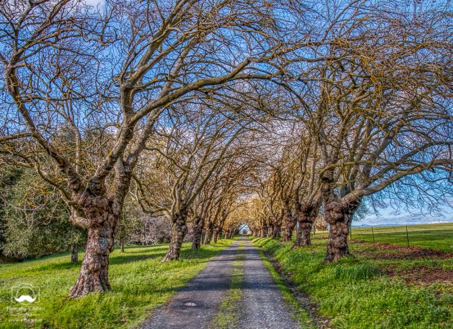 Bare Trees Arch Over a Driveway Blank Road, Sebastopol, Sonoma County, CA February 11, 2019