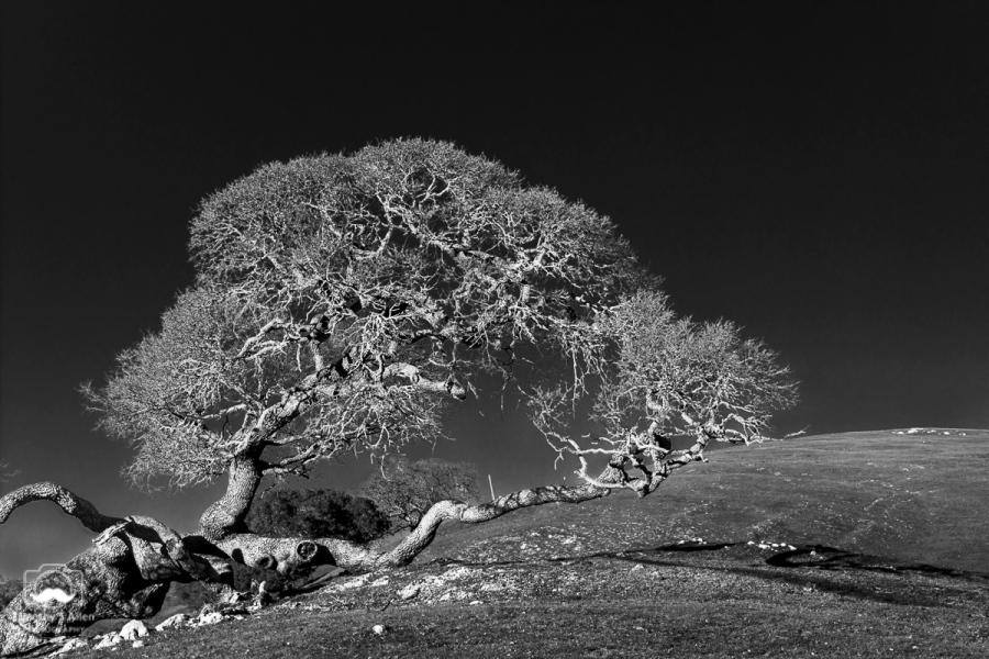 Oak tree near the Pacific coast Coleman Valley Road, Sonoma County, CA January 31, 2015