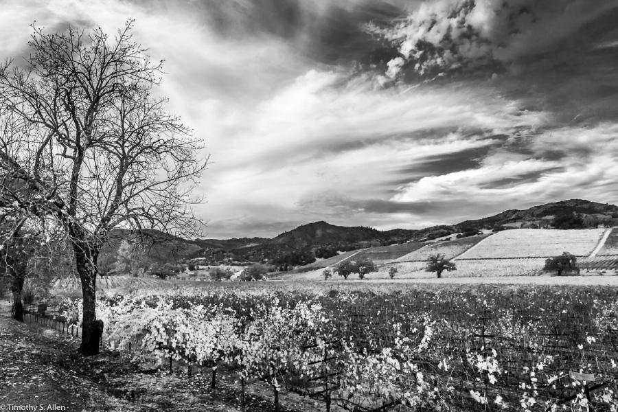 Fall view of Kunde Family Winery vineyard off of Hwy 12. Kenwood, CA November 25, 2017