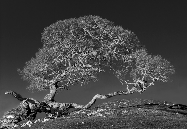 – Oak tree near the Pacific coast, Coleman Valley Road, Sonoma County, CA, January 31, 2015