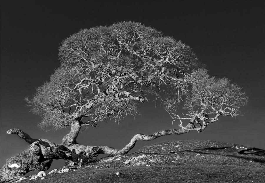 – Oak tree near the Pacific coast, Coleman Valley Road, Sonoma County, CA, January 31, 2015