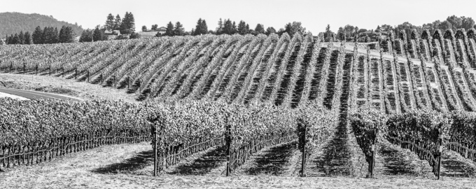 - Panoramic of a vineyard near Crane Creek Regional Park, Sonoma County, CA. July 3, 2019.