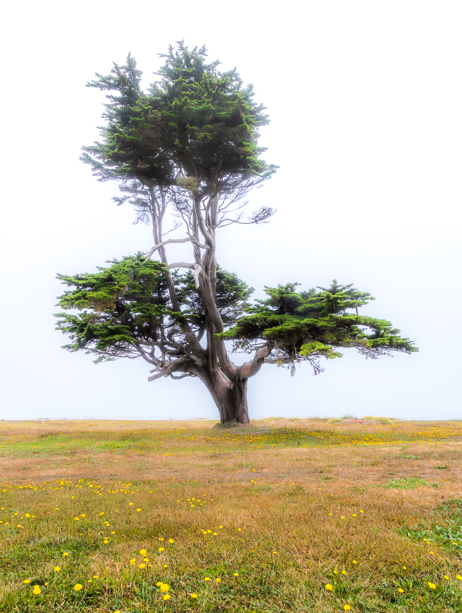 Monterey Pine, Point Arena Lighthouse Grounds, Point Arena, California July 23, 2019