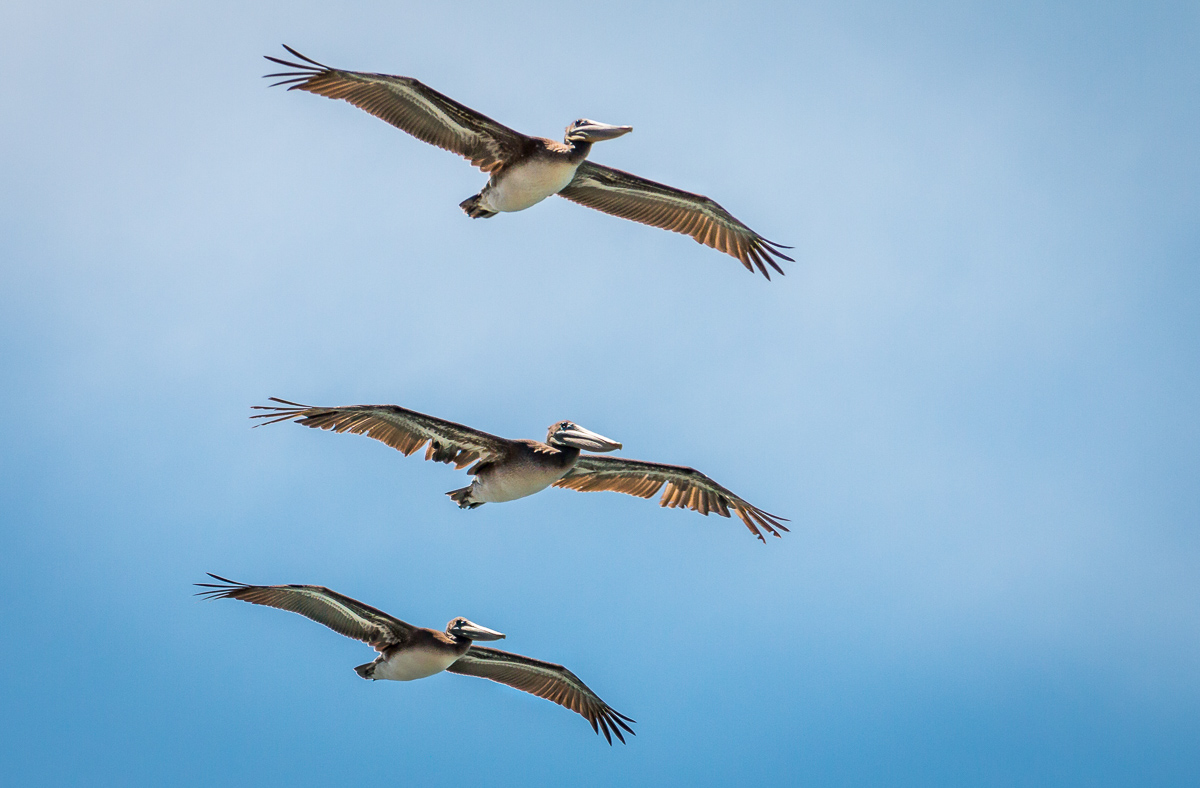 Brown pelicans flying near the shore of Gualala Point Regional Park, Sonoma County, Gualala, CA July 25, 2019