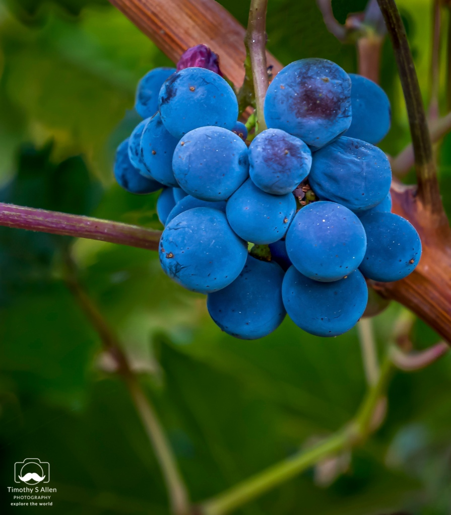 Old purple grapes on the vine