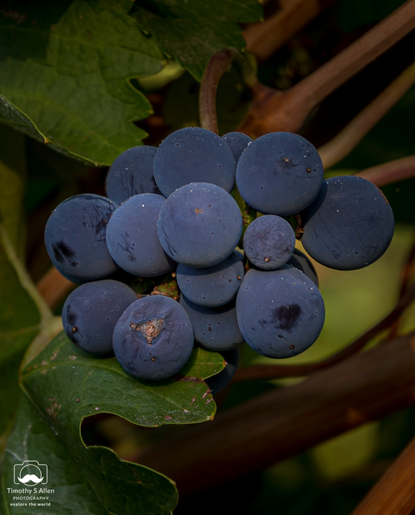 Wine grapes unpicked