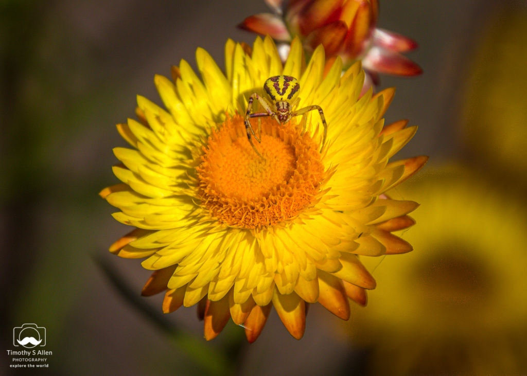 A yellow crab  spider on a strawflower