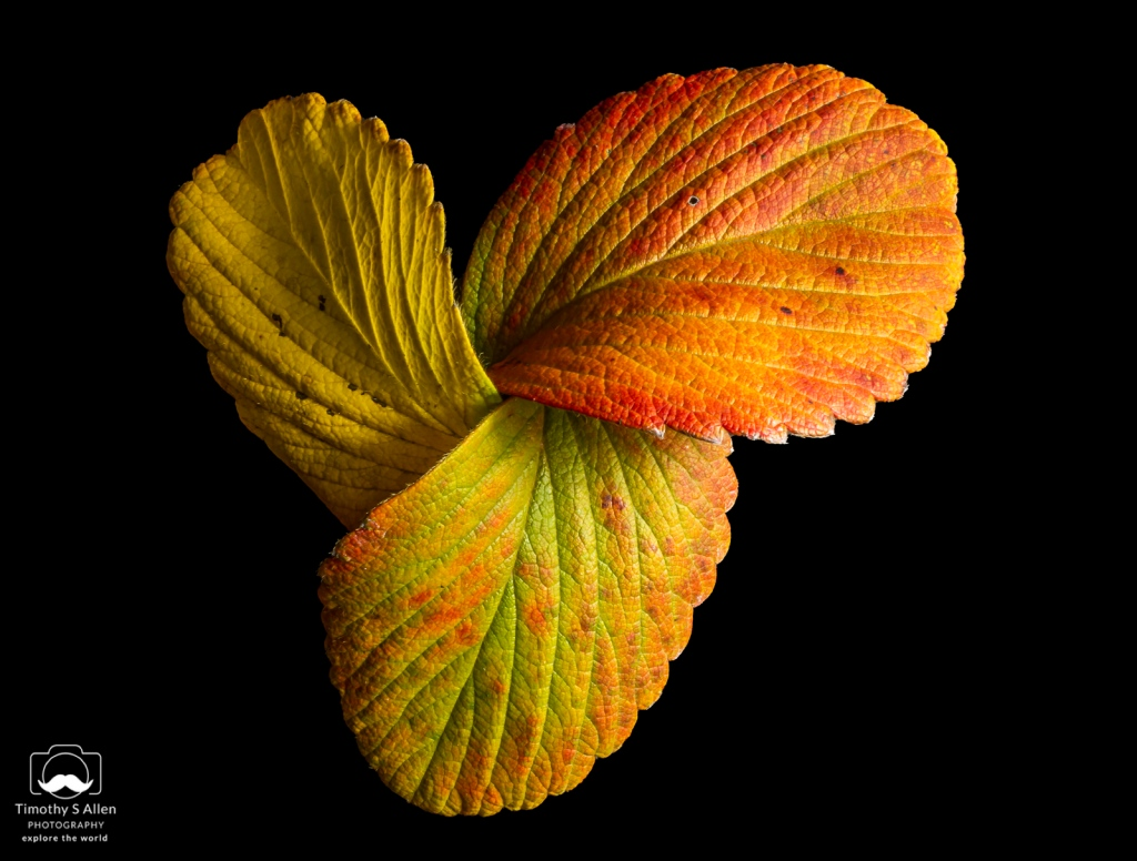 Leaves from a strawberry plant