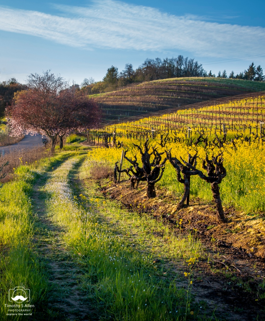 vines, fruit trees, mustard on a hillside