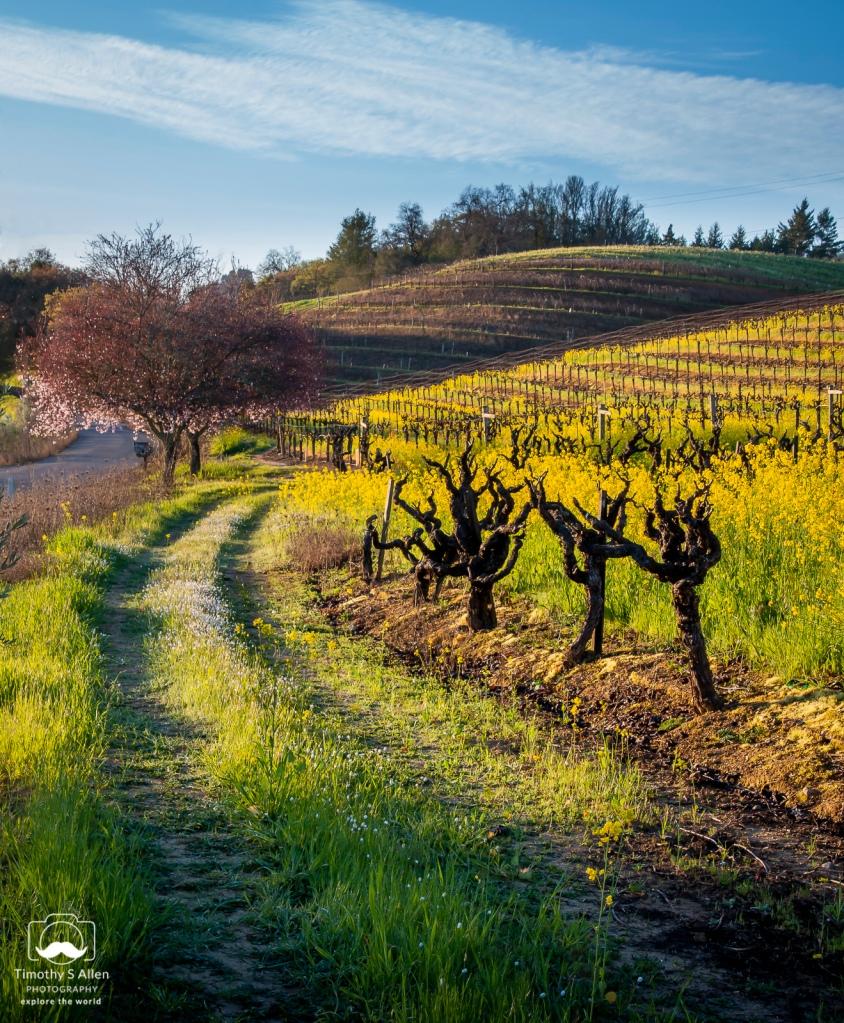 vines, fruit trees, mustard on a hillside