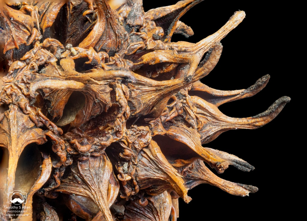 Sweet Gum Tree Seed