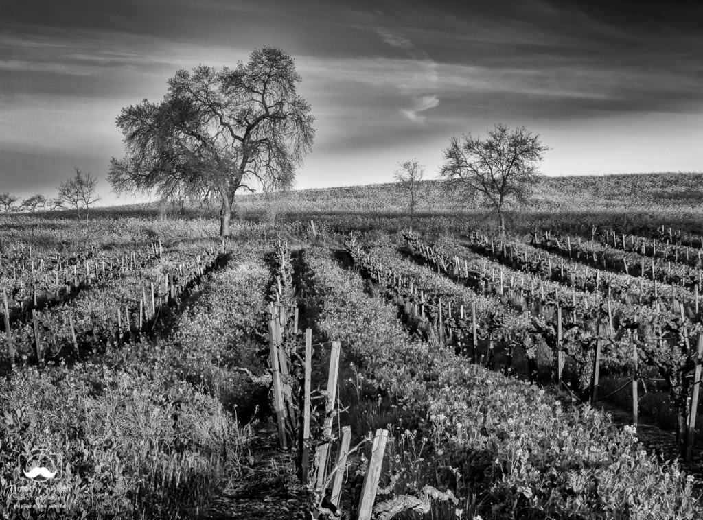 Black and White vineyard