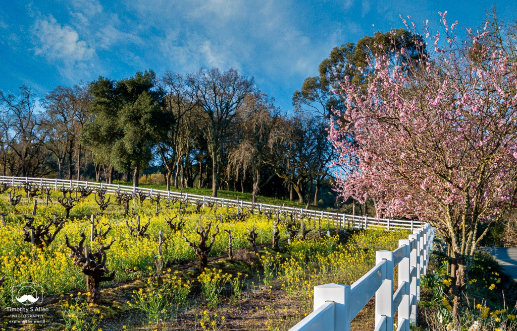fence with mustard, vines, and fruit trees